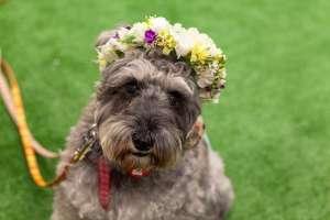 花冠をかぶる保護犬